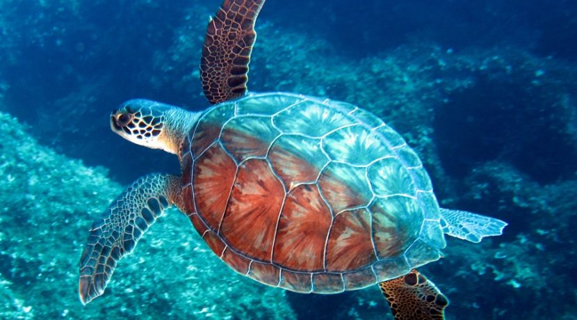 Turtle of North Cyprus