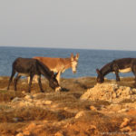 Karpaz Donkeys - North Cyprus Pictures