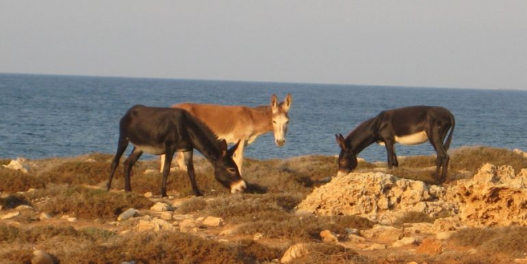 Karpaz Donkeys - North Cyprus Pictures